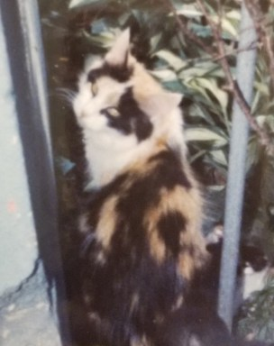 Long-haired calico cat looking at camera