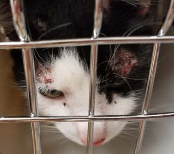 There was thick scabbing above Lucy's eyes from severe flea allergy dermatitis (FAD).