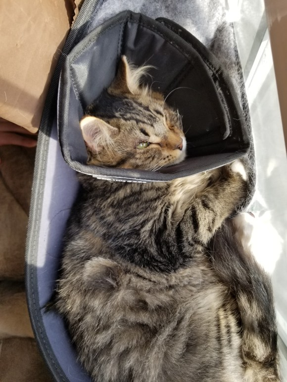 Maine Coon kitten mix post-op eye surgery in cone of shame.