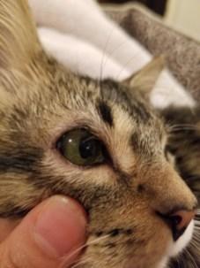 Right eye of kitten with feline eyelid agenesis