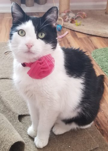 Female tuxedo cat recovered from FAD