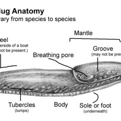Slug Anatomy Diagram Euro 13 Pin Plug Wiring Slugs Workshop On Identification Lizzie Harper An Annotated Version The Other Of My Current Illustrations