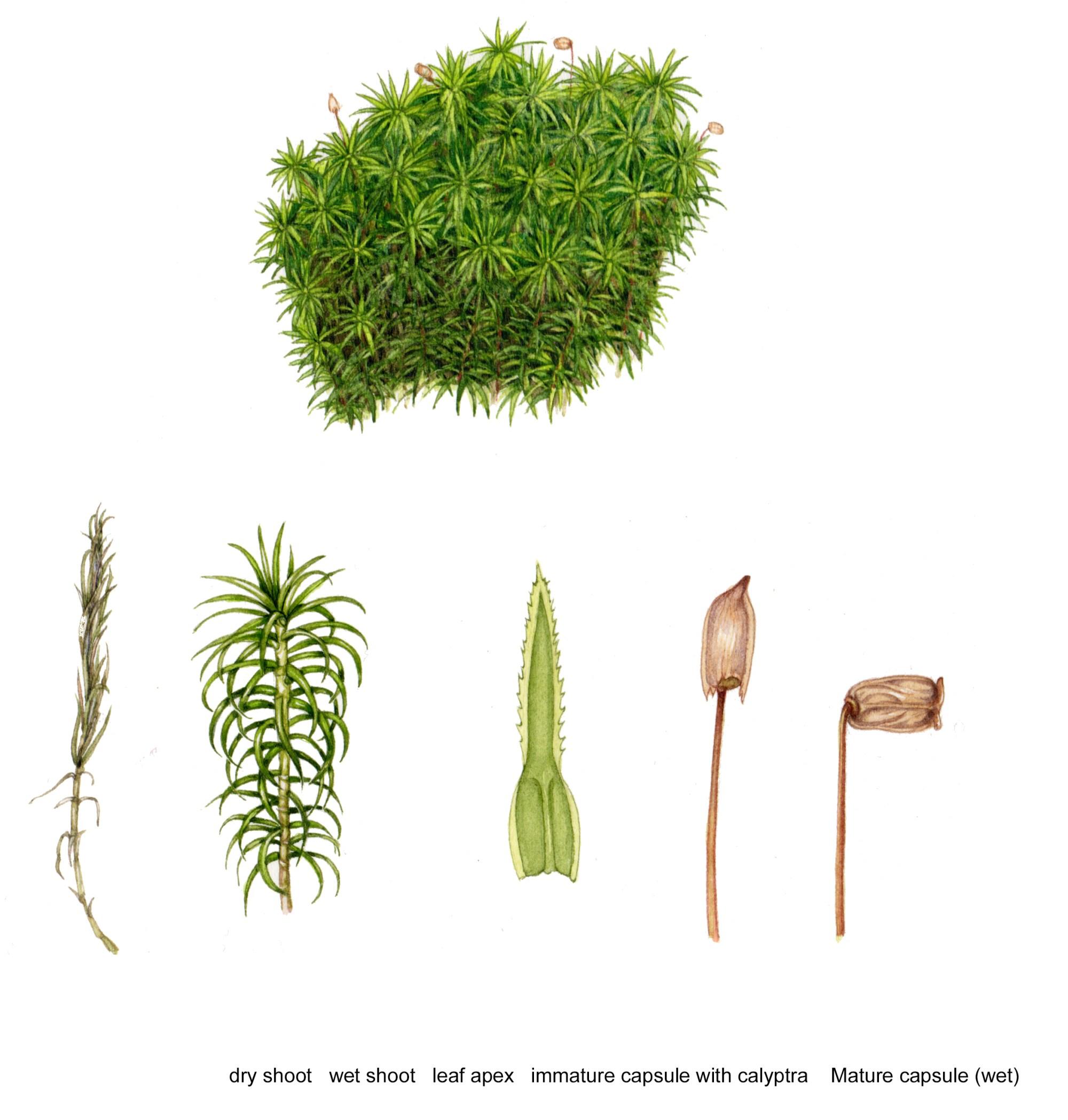 hight resolution of diagram of polytrichum commune