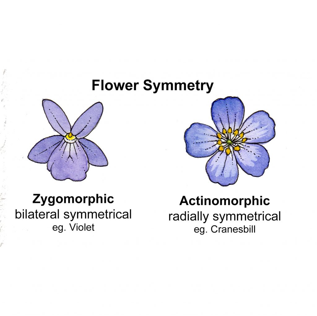 hight resolution of for more on flower symetry check out the blog from orbis environment