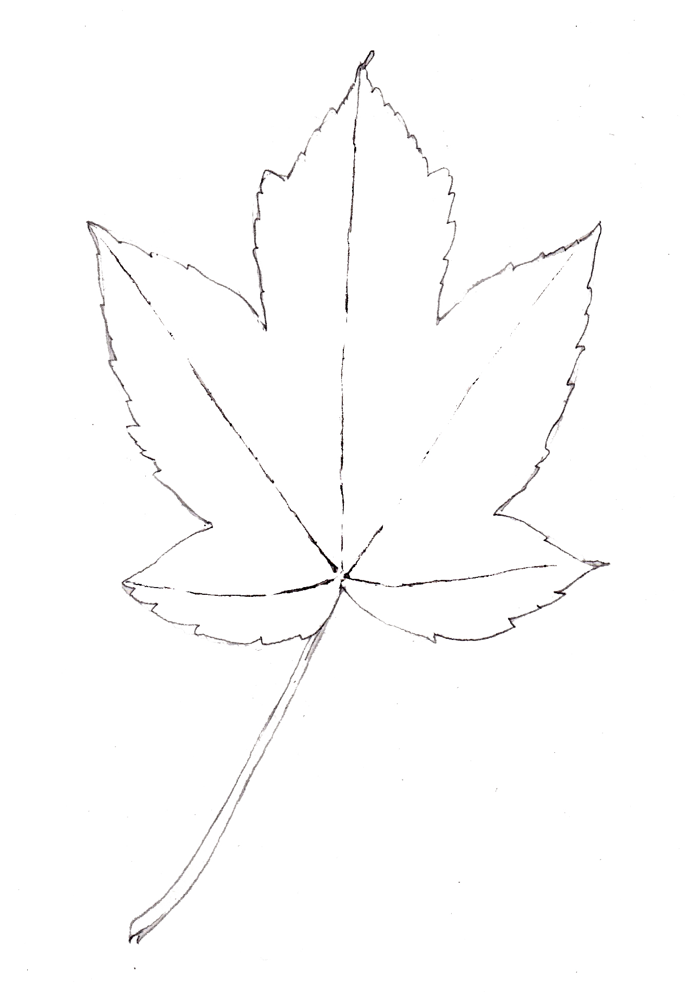 Sycamore leaf line drawing Acer pseudoplatanus with