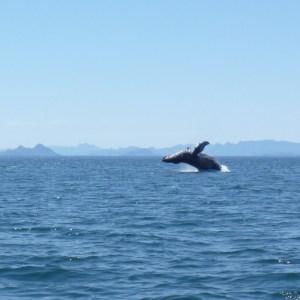 humpback breach loreto mexico