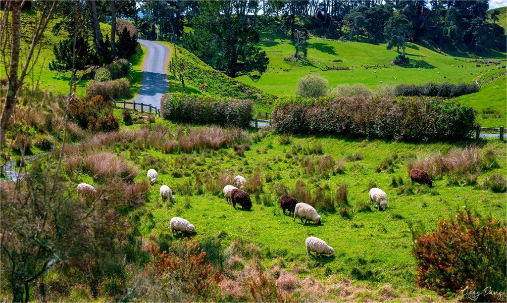 Sheep in a field outside Hobbiton in Matamata, New Zealand.