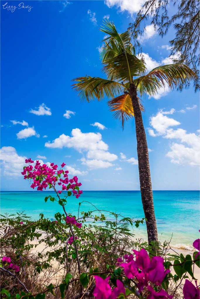 Pink flowers and palm tree in front of turquoise Caribbean Sea.