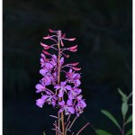 Fireweed shines even at night.