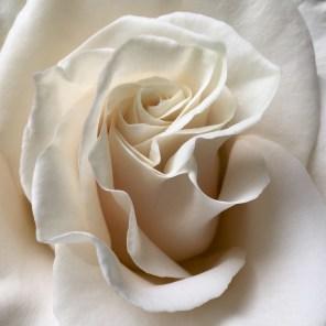 whiterose may 2017