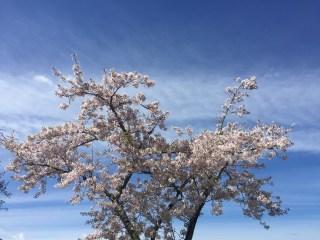 spring blossoms 9464