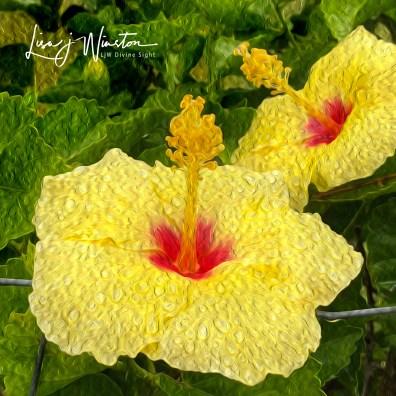 img 1361yellow hibiscus