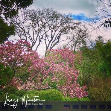 19 magnolia tree 3741