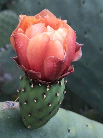 prickley pear cactus web