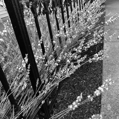 Black Fence White Lavender