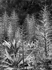 BW Pride of Madera spines
