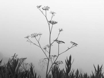 BW Wild Fennel in Fog 2021