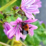 Tree bumblebee on mallow