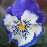 Winter flowering pansy