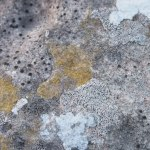 Lichens on limestone