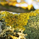 Lichens on tree
