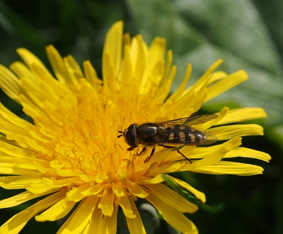 Hoverfly in St. George's churchyard