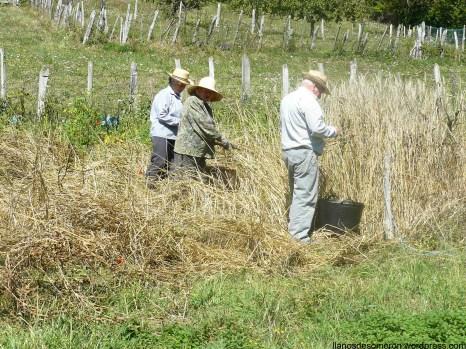 Coyendo la escanda en Llanos (2)