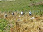 Coyendo la escanda en Llanos de Somerón (1)