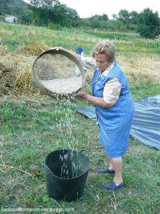 Separando los arbeyos de la paya con ayuda de la penera