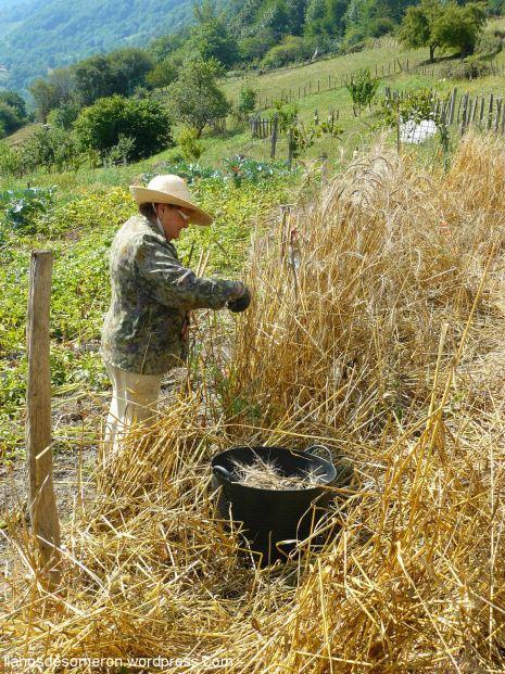 Coyendo la escanda en Llanos de Somerón (3)
