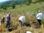 Coyendo la escanda en Llanos de Somerón (4)