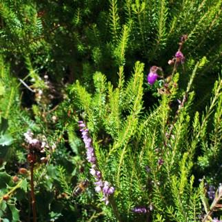 miel llaria brezos verano