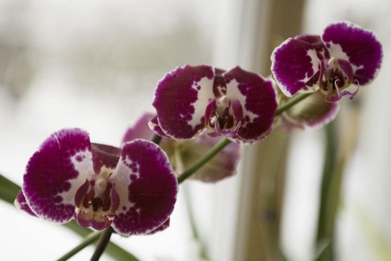 Phalaenopsis in Violett