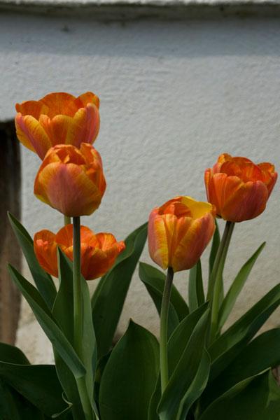 tulpe_orange
