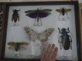 The biggest insects of French Guiana (and Lore's hand)