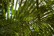 Palm leave in Paracou