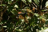 Toucan eating close to the camp