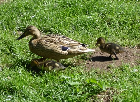 Ducklings with parent