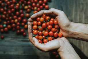 close up of hands holding cherry tomatoes