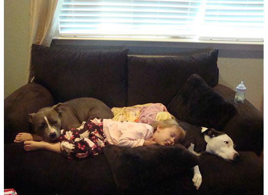 photo of little girl laying with pit bulls on sofa