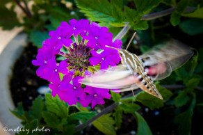 Hummingbird moth 02