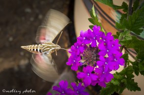 Hummingbird moth 03