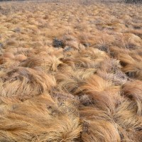 Breaking News! Donald Trump grows his hair on special hair farms