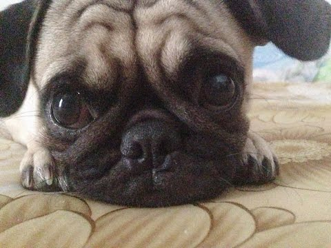 Funny And Cute Pug Videos Compilation 2016 – Funny Dog Videos 2016