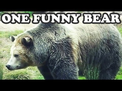 Big Brown Grizzly Bear Bears – San Francisco Zoo California -Funny Wild Animal Animals Jazevox Video