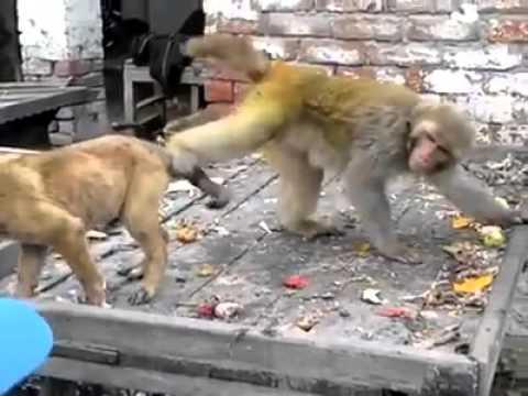 monkey vs dog || funny video