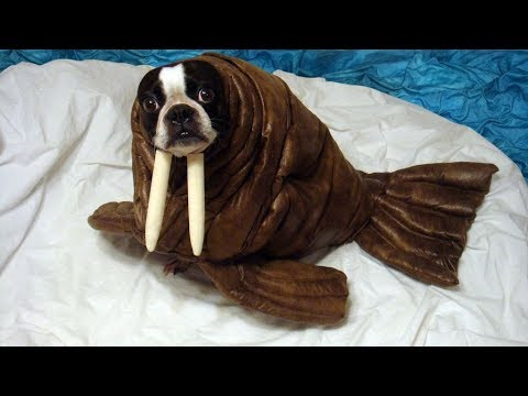 Best Funny and Cute Halloween Costumes for Dog –  Funny Dogs Videos Compilation