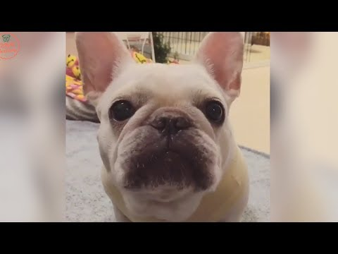 Funniest & Cutest French Bulldog puppies Videos Compilation 2018 | Funny DOG vines compilation #373
