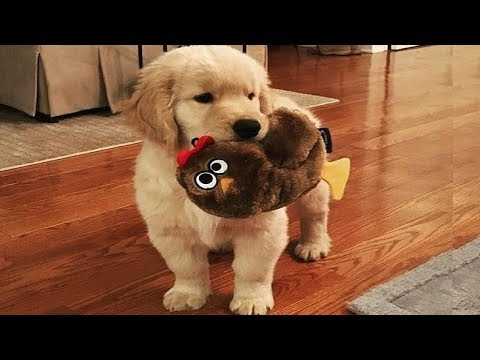 Best Of Cute Golden Retriever Puppies Compilation #17 – Funny Dogs 2018