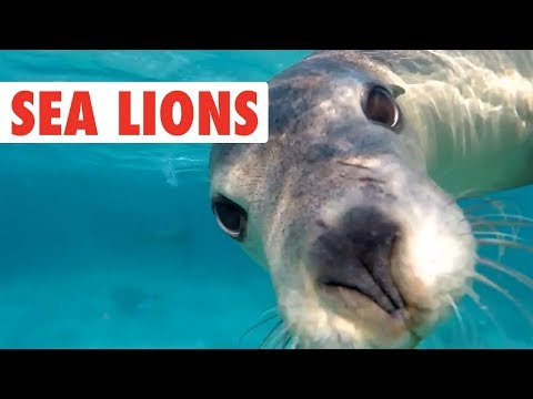 Funny Sea Lion/Seal Video Compilation   Dogs of the Sea